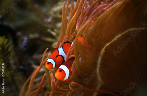 Clown Fish from the famous Disney Pixar movie Finding Nemo Canvas Print