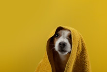 Dog After A Shower In A Towel. Animal On A Yellow Background. Cute Jack Russell Terrier