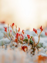 Closeup Of Red Flowers In The Ground Covered With The Snow On A Blurry Background
