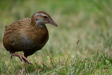 Close Up Of A Weka Bird In New...