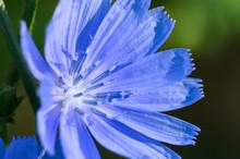 Tiny Blue Flower Proudly Displ...