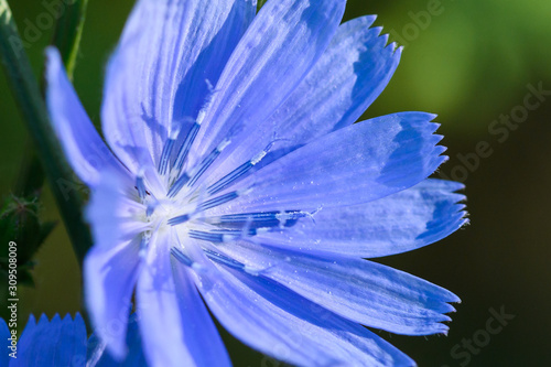 Fotografie, Tablou  Tiny Blue Flower Proudly Displaying Its Stamen in the Morning Sunshine