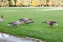 Wild Geese On A Walk In The Park. Gray Geese.