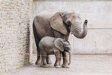 Baby Elephant Near Big Mother ...