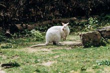 White Albino Wallaby At The Zoo