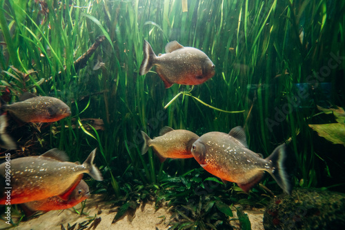 Freshwater aquarium fish, The red bellied piranha, the red piranha Canvas Print