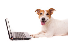 Jack Russell Dog Using A Computer And Browsing The Internet