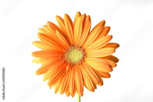 fiore isolato di gerbera arancio su fondo bianco Canvas Print
