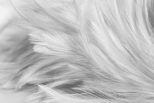 White Chicken Feathers In Soft...