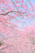 Flowering Dogwood, Tree, Floral
