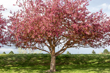 Showy Crabapple Tree In Bloom