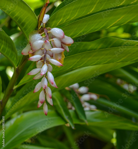 Photo Alpinia Zerumbet, Ginger Shell, Pink Porcelain Lily at Mckee Botanical Garden in