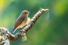 Asian Brown Flycatcher Perchin...