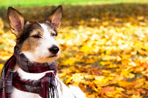 Autumn dog, a cute puppy with a scarf sits in colorful leaves in the park outside Canvas Print