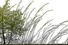 Realistic Grass Silhouettes (Vector Illustration).Eps10