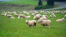 Cattle Sheep Grazing In Meadow