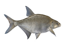 Freshwater Bream Fish Isolated On White Background