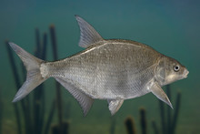 Freshwater Bream Fish Isolated On Natural Underwater Background