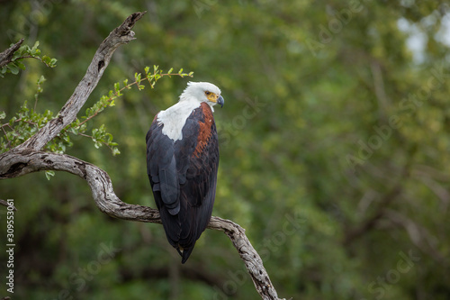 Photo African fish eagle standing in a branch with natural background in Kruger Nation