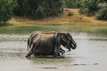 A Herd Of Elephants Swimming I...