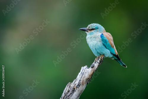 Fotografía  European Roller isolated in natural background in Kruger National park, South Af