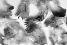 Beautiful Abstract Colorful White And Black Feathers On Dark Background And Soft White Feather Texture On White Pattern