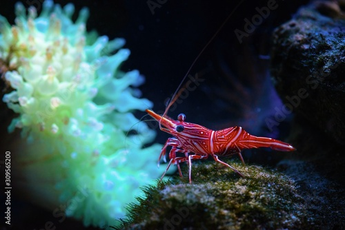 Rhynchocinetes durbanensis dancing sea shrimp Wallpaper Mural