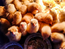 A Group Of Small Chicks Are Ga...