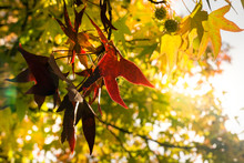 Golden Autumn Leaves Of Plane Tree And Fruits On Branches Of Tree At The Golden Hour. Beautiful Autumn Background, Sunset Backlighting And Bokeh..