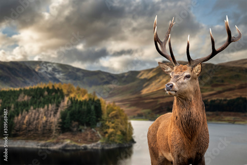 Majestic Autumn Fall landscape of Hawes Water with red deer stag Cervus Elpahus in foreground