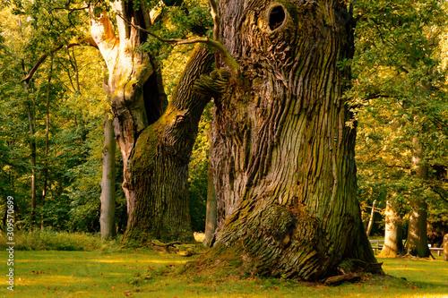 Obraz Riesige, sehr alte Eichen mit großen Stämmen in einer Parklandschaft bei Ivenack, Mecklenburg-Vorpommern - fototapety do salonu