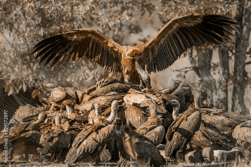 Photo White backed Vulture group scavenging giraffe's carcass in Kruger National park,