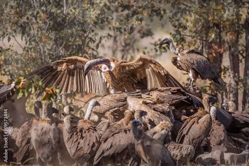 Group of White backed Vultures scavenging a giraffe's carcass in Kruger National Wallpaper Mural