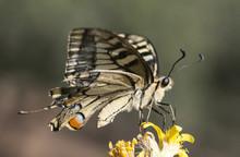 Papilio Machaon Common Yellow ...