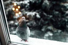 A Lone Dove Sits On The Ledge ...