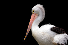 A Pelican Side Profile Against...
