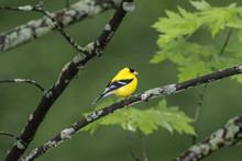 Male American Goldfinch Bird O...