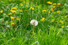 Dandelions And Other Weeds Amo...