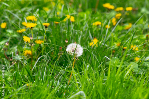 Fototapeta dandelions and other weeds among the grass. an overgrown backyard needs clearing. springtime lawn care concept obraz