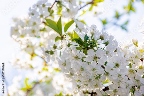 Obrazy kwiat jabłoni   bialy-kwiat-jabloni-male-kwitnienie-na-galazkach-w-sloncu-sezon-wiosenny-w