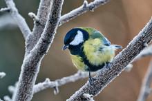 Bird - Great Tit ( Parus Major...