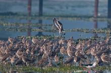 Ruff Bird At Surajpur Wildlife Sanctuary