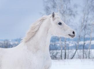 white arabian horse runs free in winter paddock portrait
