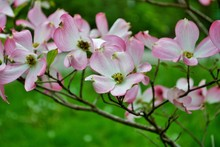 Pink Cornus Florida Rubra Tree...
