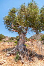 Old Olive Tree In A Field On A...
