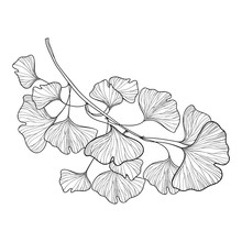 Branch With Outline Gingko Or Ginkgo Biloba Ornate Leaf In Black Isolated On White Background.
