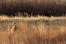 Whitetail Deer Buck In The Fal...