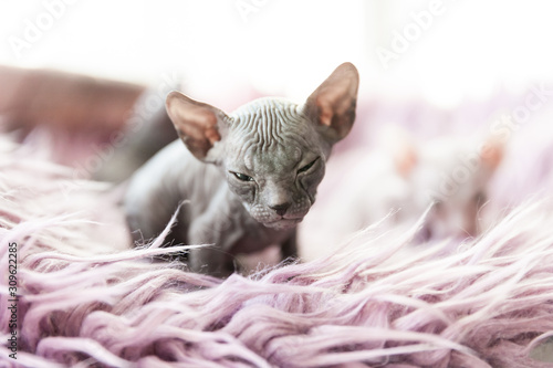 obraz lub plakat gray one month old Don sphynx cat portrait on lilac fur background
