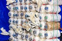 Many Oyster Mushrums (Pleurotu...