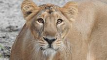 Closeup Eyes Of A Lion In Deta...